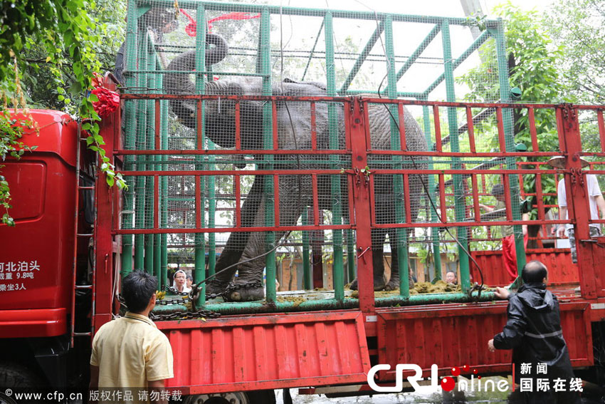 """2013年05月24日,南宁动物园大象馆,非洲象洲洲被吊车吊上了""""大花轿""""车"""