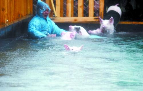 看,小猪在游泳图片