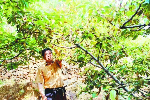 成家种的拉宾斯樱桃树在打了农药后出现了叶子枯萎、果实逐渐干瘪的图片