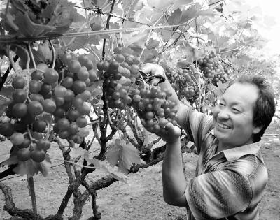 6月2日,宁陵县柳河镇杨楼寨村无公害水果大棚里,果农在喜收成熟的葡萄。目前,该县林业组工干部深入农村发展无公害绿色水