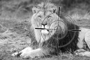 在南非,圈养狮子以供商业猎杀的产业十分繁荣