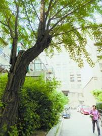 """看着自家楼前的百年银杏树有树洞,居民担心老树""""病倒"""",想找古树专家给树""""诊断"""",及时得到""""救治"""",让树延年益寿。"""