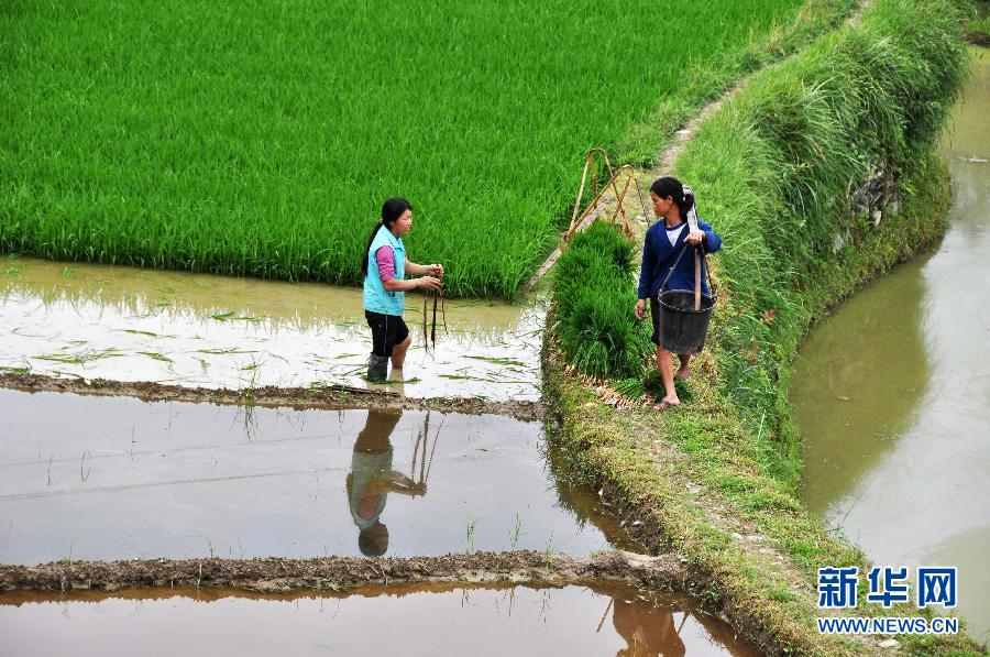 6月4日,在贵州省锦屏县固本乡东庄村,一名村民在搬运秧苗。