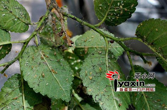 图为蚜虫在吃树叶。记者 朱翊 摄