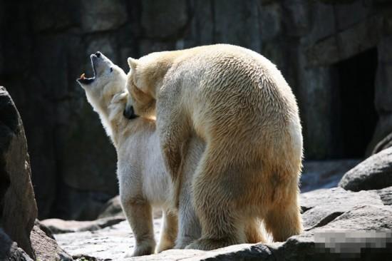 国外人和动物杂交影片网站_盘点令人捧腹的动物交配 大熊猫满地打滚[组图](1)_自然地理_光明网