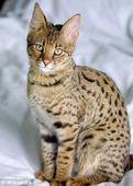 非洲杂交热带草原猫在美国受热捧