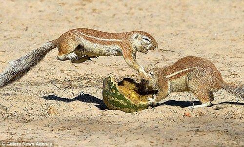 """两只松鼠为抢西瓜""""大打出手""""。"""