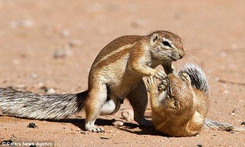 两只松鼠在地上厮打。