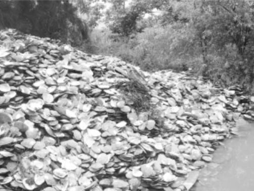死亡的珍珠蚌堆成了小山