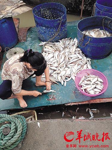 女子正在对一堆死鱼进行处理