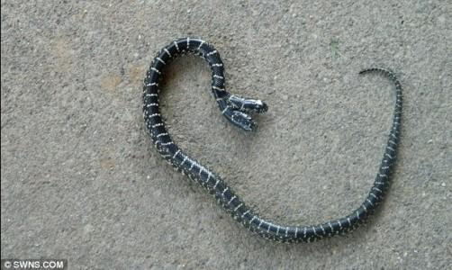 盘点动物世界双头异类:双头蛇难存活(图)(1)_