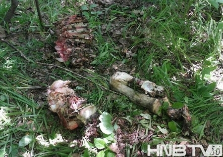 黑龙江省桦南林业局时隔19年再现野生东北虎足迹。