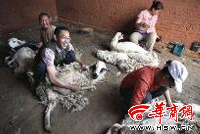 托亚夫妇和朋友小顾夫妇一起剪羊毛