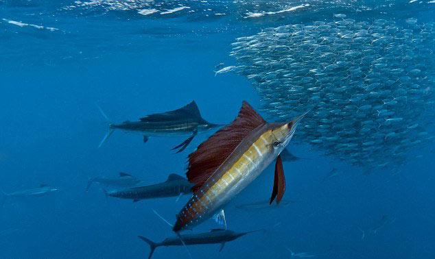 墨西哥凶猛旗鱼海底上演捕食大戏(组图)(1)_科学探索