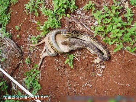 蟒蛇吞食袋鼠全过程实拍