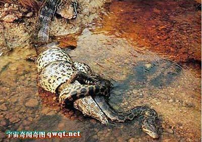 攻击性最强的蟒蛇,经常袭击任何体态小于它的个体   缅甸蟒蛇吞食一条