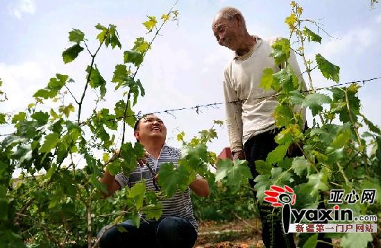马元/图为5月24日,阿依甫帮助75岁的呼显荣修剪枝叶。亚心网记者马...