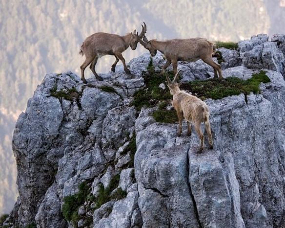 意大利山羊在4000米高悬崖打斗