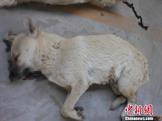 图为被毒杀的家养狗。 倪永灿 摄