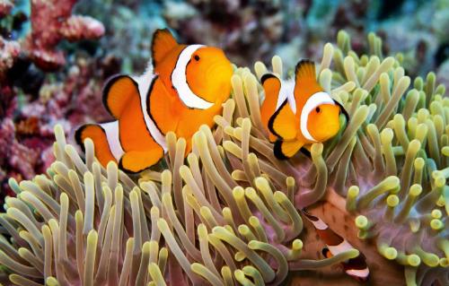 涛岛水下的小丑鱼