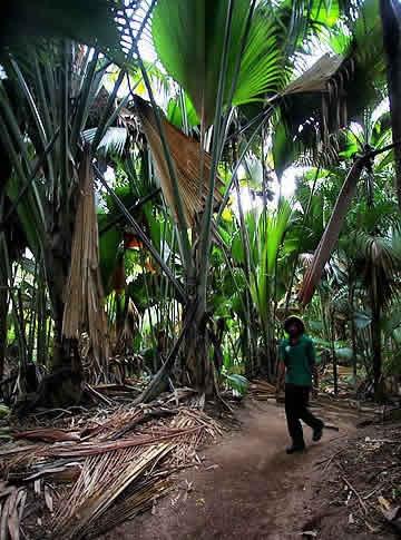 海椰子 全世界最让人脸红心跳的植物