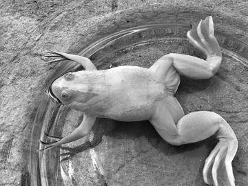 通体淡黄的青蛙