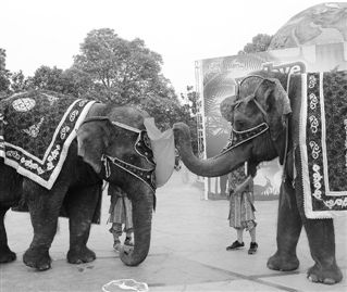 昨天,是国际接吻日。杭州野生动物世界特地为大象南顿先生和大象南玻小姐举行了一场婚礼。