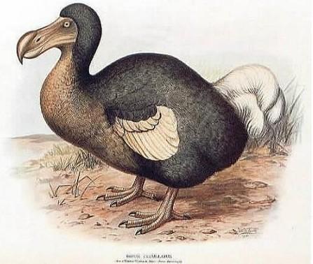 已经灭绝了将近300年的渡渡鸟