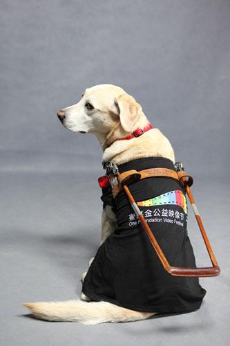 公益映像节推广大使导盲犬Candie