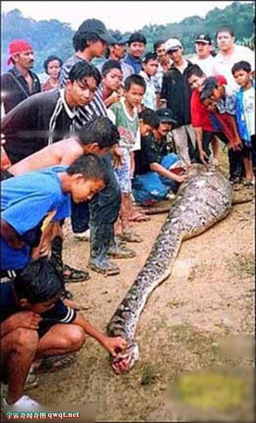 全世界最大的蟒蛇_盘点惨死的巨型大蟒蛇 16米多大蛇精成榜首(1)_科学探索_光明网 ...