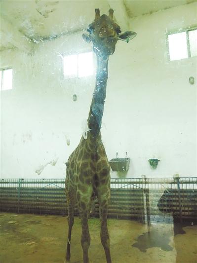 动物园兽医陈浩说,长颈鹿的性成熟期在3.5~4.5岁.