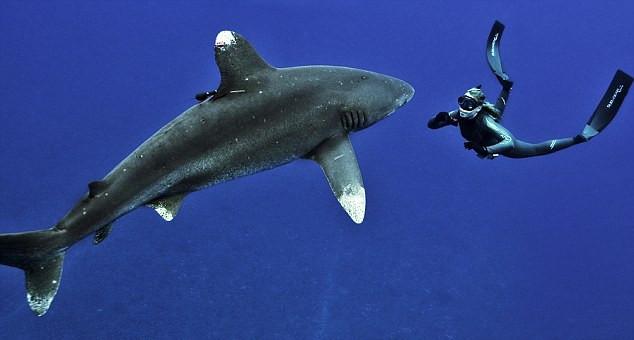 据英国《每日邮报》7月8日报道,自然资源保护者朱莉安德森日前在巴哈马猫岛经历了同一只白鳍鲨在海中共舞的惊险时刻,其直面食人鲨鱼毫不畏惧的勇气令人钦佩。   朱莉在美国加利福尼亚创立了一个名叫鲨鱼天使(Shark Angels)的组织,一直以来致力于全球鲨鱼保护工作,并且定期潜入海中,同鲨鱼近距离接触一番,希望能够通过此举改变人们对该种生物的看法,呼吁人们对它们所面临困境的关注,从而拯救濒临灭绝的群体。如今朱莉已经拥有了与许多不同品种鲨鱼共泳的经验,包括锤头鲨、虎鲨,甚至还有大白鲨。   据了解,