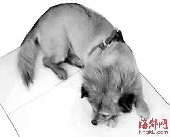 女人与公狗做爱什么感觉_广州女子称自家母狗被强奸 向公狗主人索赔10万(组图)