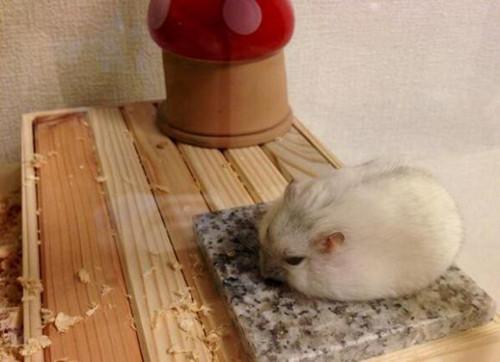 """主人送石板降温 仓鼠像奶油一般""""融化了""""图"""