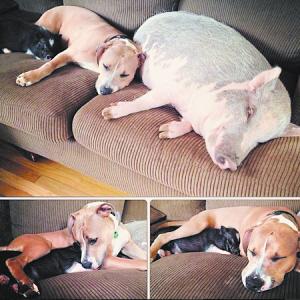 两猪两狗一起睡觉玩耍