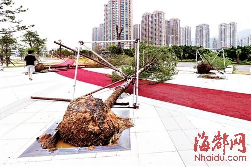 江滨公园内,不少刚栽不久的大树被台风刮倒,金属护架完全不起作用