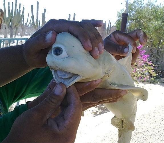 世界奇形怪状的动物:独眼白化鲨鱼(1)_科学探索_光明网(组图)