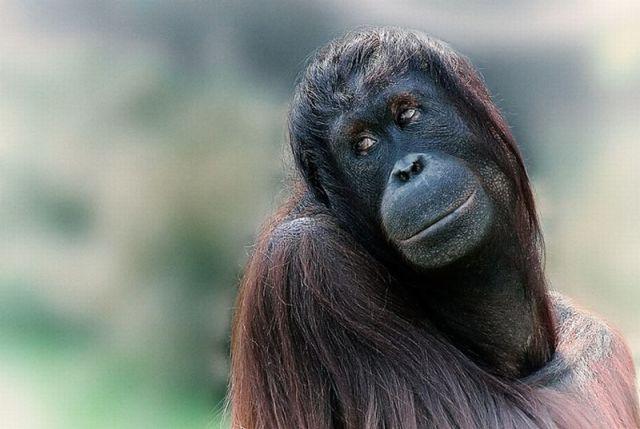盘点超萌动物爆笑瞬间 黑猩猩妩媚回眸一笑/图(1)_科学探索_光明网
