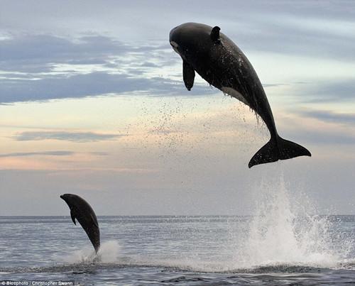 虎鲸跳跃出水面捕海豚,历经2小时,最终将其捕获。