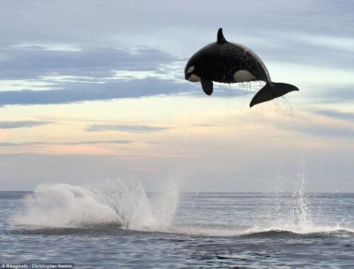 虎鲸跃出水面的高度达到4.5米。
