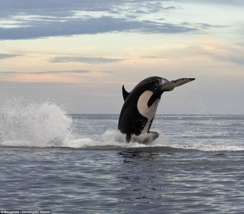 摄影师在拍摄的过程中有时距离虎鲸只有4至5米。