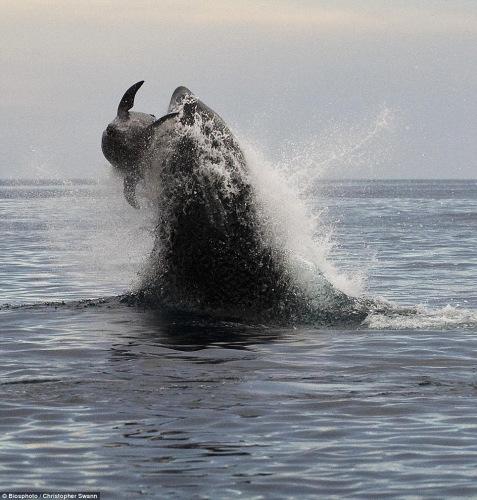 虎鲸最终将海豚捕捉到手。