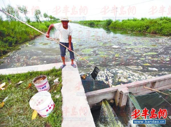 一村民在河道里打捞死鱼。