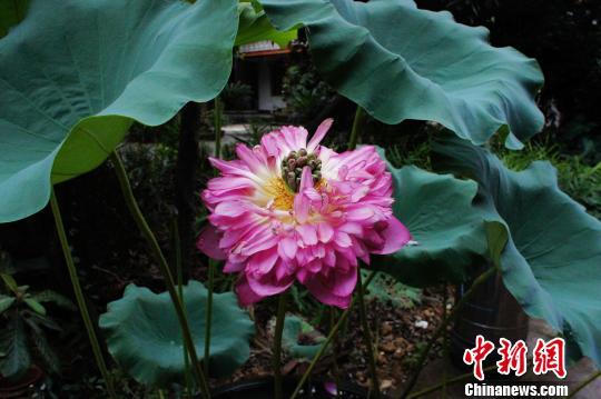 罕见紫红色千叶宝莲在广东南华寺盛开(图)图片