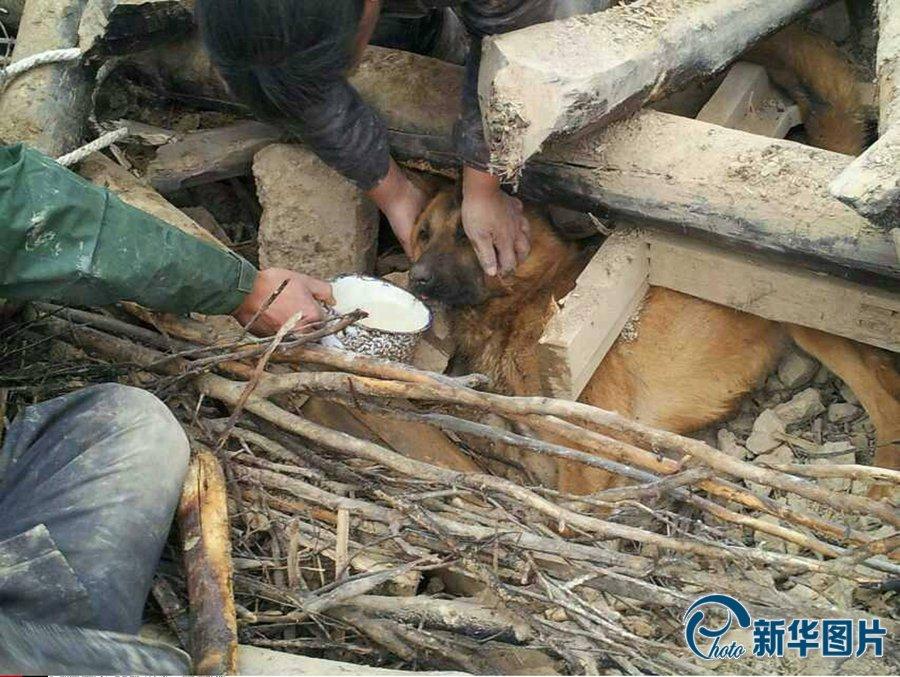 被地震废墟掩埋77小时的黄狗。图片来源:CFP