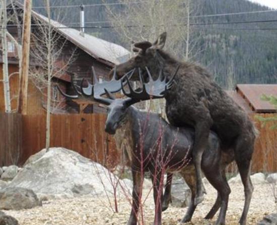亚州爱性_在美国科罗拉多州格兰德湖市的一个小镇里,一头雌性驼鹿爱上了居民