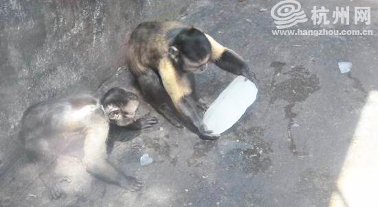 盼啊盼 猩猩也盼来了人工降雨   金丝猴展区、黑白疣猴展区、黑叶猴展区、赤猴展区、小黑猩猩馆要比猴山里的猴子们幸运得多,因为它们能够享受到眼下最令人期盼的人工降雨。   往年,动物园都是用大冰块给黑猩猩降温,但发现一个问题:在高温下冰块融化的非常快,降温效果很不理想。鉴于猩猩和猴子家族一向愿意折腾水花的小癖好,饲养员就为它们专门设计了这套简易的人工降雨设备。   相对来说,人工降雨是既简单方便又行之有效的办法。饲养员告诉记者,方法很简单,笼舍顶上安装一个喷水装置,将一根皮管的一头扎住,再在上