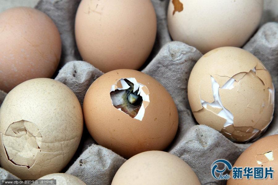 那么,毛鸡蛋在什么情况下会自然孵化呢?图片