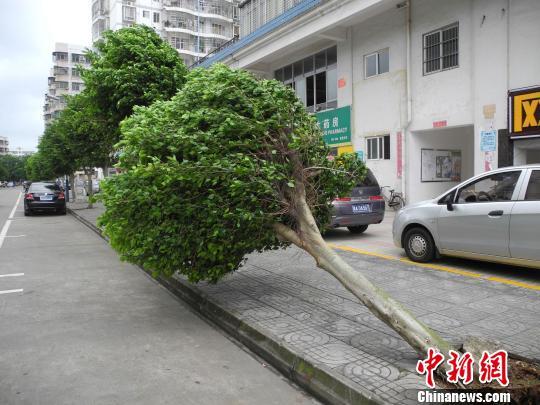 海口市街道已有树木被强风吹倒。 王子谦 摄