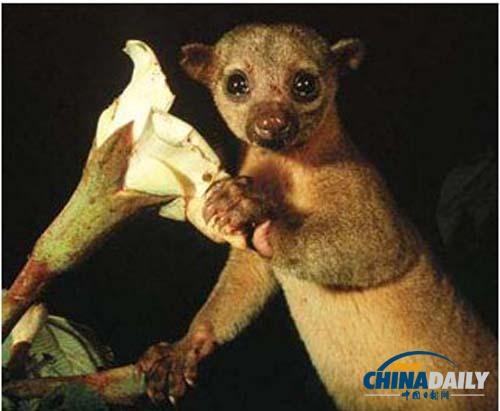 猴从主人的笼子里逃了出来,在美国迈阿密北部海滩的街道上徘徊,抓伤了